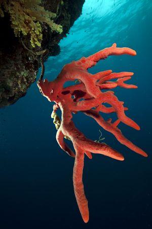 corales marinos: coral y Oc�ano