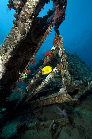 butterflyfish on cargo of the Yolanda wreck photo