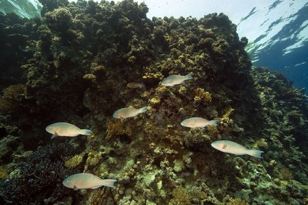 parrotfish and coral photo