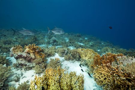 giant trevally and coral garden photo