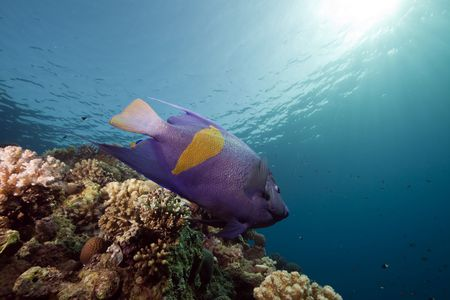 yellowbar angelfish  and ocean taken in the Red Sea. photo