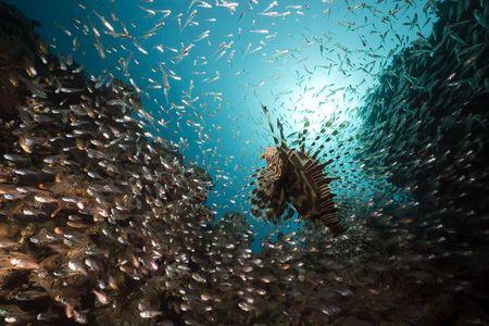hunted: GlassFish cazado por pez le�n adoptadas en el mar rojo.