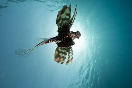 lionfish and wide blue oceantaken in the Red Sea. photo