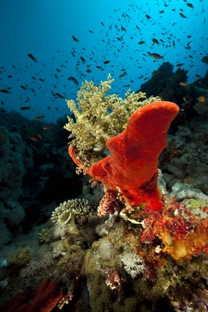 Coral and fish in the Red Sea. photo
