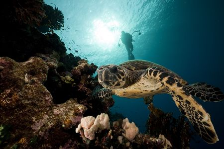 Hawksbill turtle in the Red Sea. photo