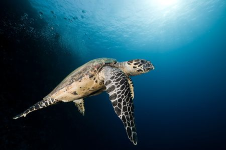 sunspot: Hawksbill turtle in the Red Sea.