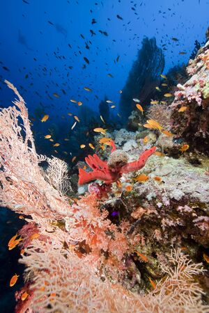 seafan: Glassfish and seafan in the Red Sea. Stock Photo