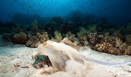 bluespotted: Bluespotted stingray and coral in the Red Sea.