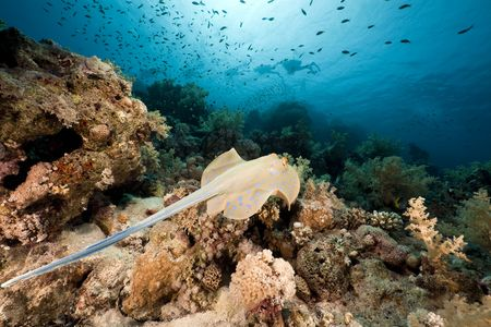 Bluespotted stingray and coral in the Red Sea.
