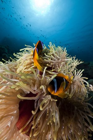 sunspot: Anemonefish in the Red Sea.