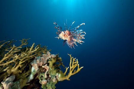 Lionfish in the Red Sea. photo