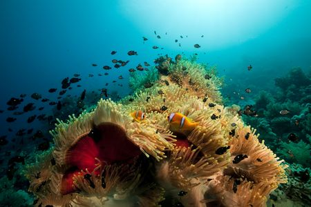 sunspot: Anemone and fish in the Red Sea.