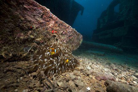 Anemone on the Thistlegorm wreck. photo