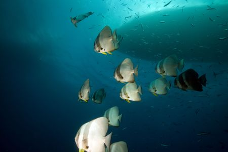 Spadefish over the Thistlegorm wreck. Stock Photo - 8189970