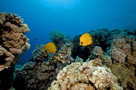Butterflyfish in the Red Sea. photo