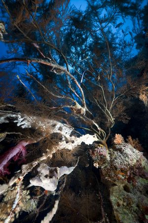 Branching black coral and fish in the Red Sea. photo