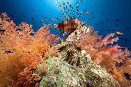 hard coral: Coral and fish in the Red Sea.