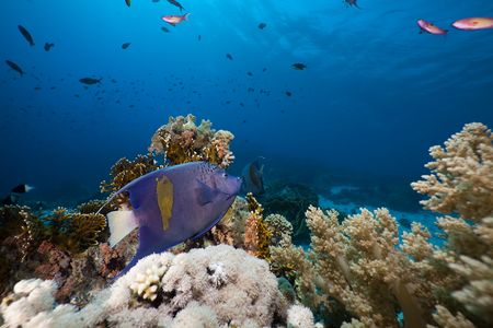 Yellowbar Angelfish in the Red Sea. photo