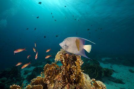 Yellowbar Angelfish in the Red Sea. Stock Photo - 8200852