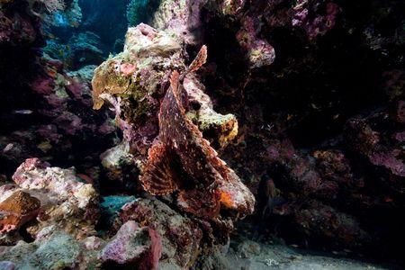 Smallscale scorpionfish in the Red Sea. photo