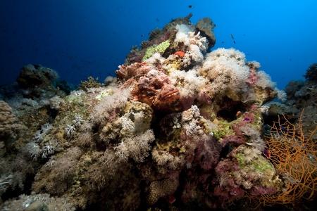 scorpionfish: smallscale scorpionfish and coral Stock Photo
