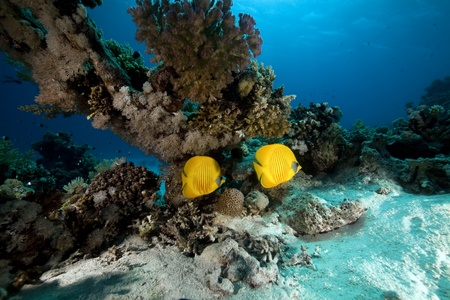 Masked butterflyfish. coral and ocean. Stock Photo - 8399844