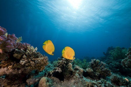 butterflyfish: Masked butterflyfish. coral and ocean.