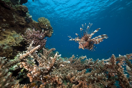 Lionfish and acropora. Stock Photo - 8479554