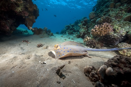 Bluespotted stingray and ocean. photo