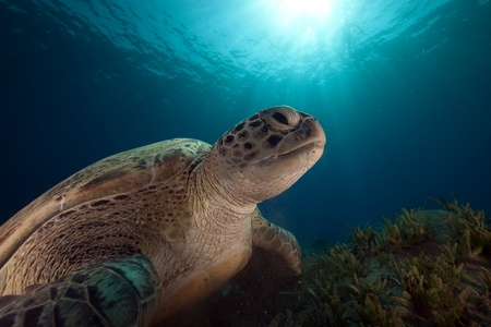 Green turtle and ocean. photo