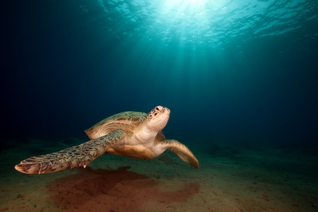 red coral colony: male green turtle. Stock Photo