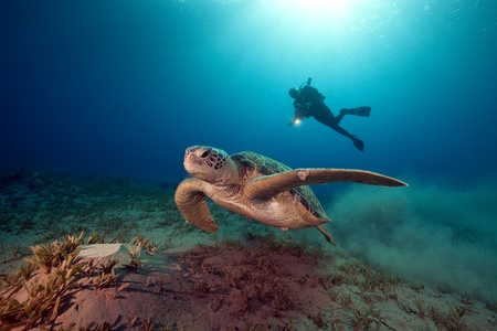 sunspot: male green turtle and videographer. Stock Photo
