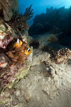 bubble anemone and anemonefish. photo
