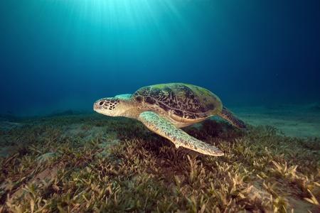 male green turtle. Stock Photo - 8486380