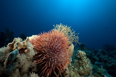Crown-of-thorns starfish in the Red Sea. photo