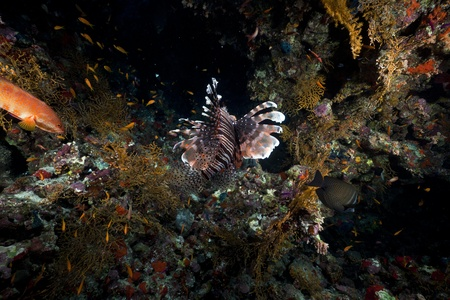 Lionfish and tropical reef in the Red Sea. photo