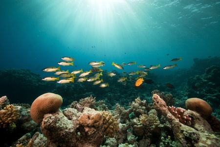 under the surface: Ehrenbergs snappers and tropical reef in the Red Sea. Stock Photo