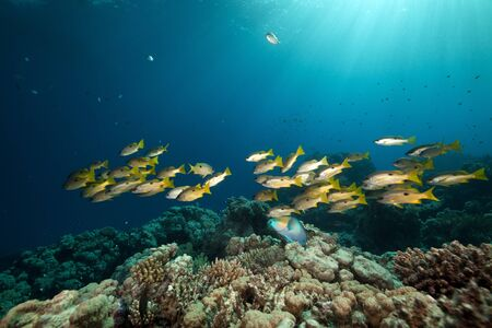 Ehrenberg's snappers and tropical reef in the Red Sea. Banque d'images