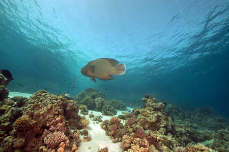 napoleon wrasse: Napoleon wrasse and coral in the Red Sea. Stock Photo