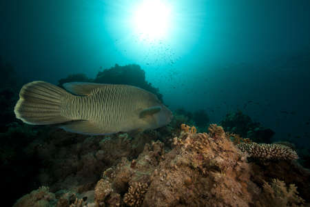 napoleon wrasse: Napoleon wrasse and tropical underwater life in the Red Sea. Stock Photo
