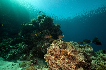 rabbitfish: Stellate rabbitfish and tropical underwater life in the Red Sea. Stock Photo