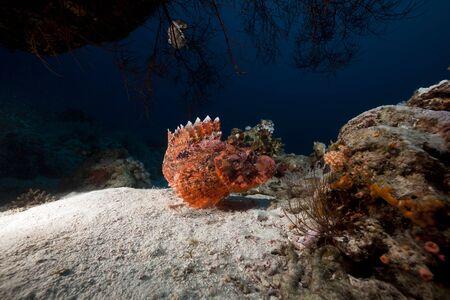 Smallscale scorpiofish in the Red Sea photo
