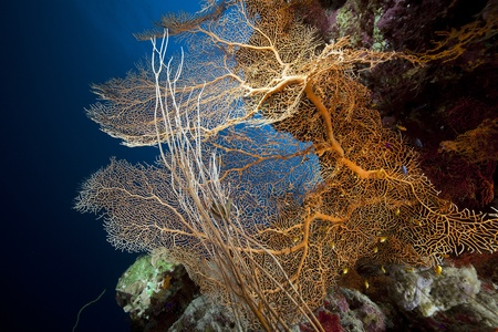 seafan: Sea fan, coral and fish in the Red Sea. Stock Photo