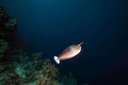 naso: Spotted unicornfish (naso brevirostris) in the Red Sea. Stock Photo