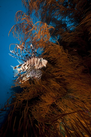 branching coral: Lionfish and black branching coral in the Red Sea Stock Photo
