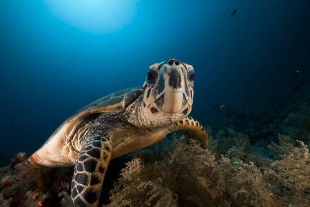 beneath: Hawksbill turtle in the Red Sea