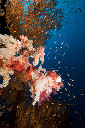 branching coral: Branching black coral and tropical reef in the Red Sea.