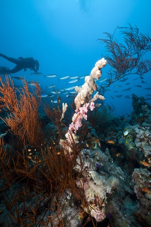 Les paysages sous-marins et un plongeur dans la mer Rouge.