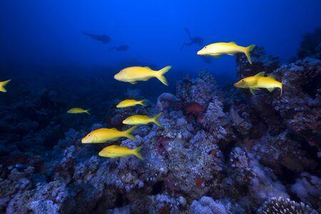 Mullidae de Yellowsaddle y paisajes submarinos en el mar rojo. Foto de archivo - 9251900