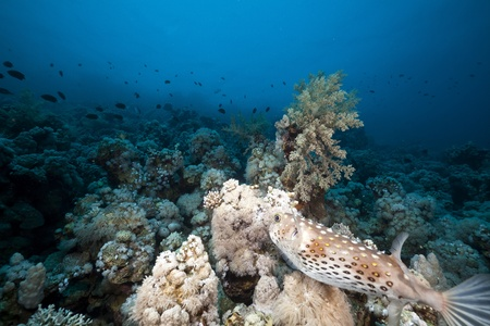 Porcupinefish and underwater scenery in the Red Sea. photo